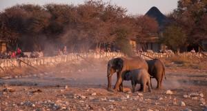 Thirsty Giraffes, Etosha National Park, Namibia  № 1442748 загрузить