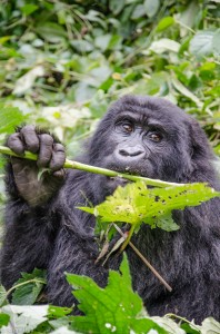 Mountain gorilla in Bwindi Impenetrable Forest