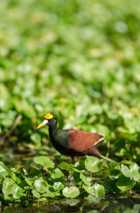 A Northern Jacana in Tortuguero National Park, Costa Rica