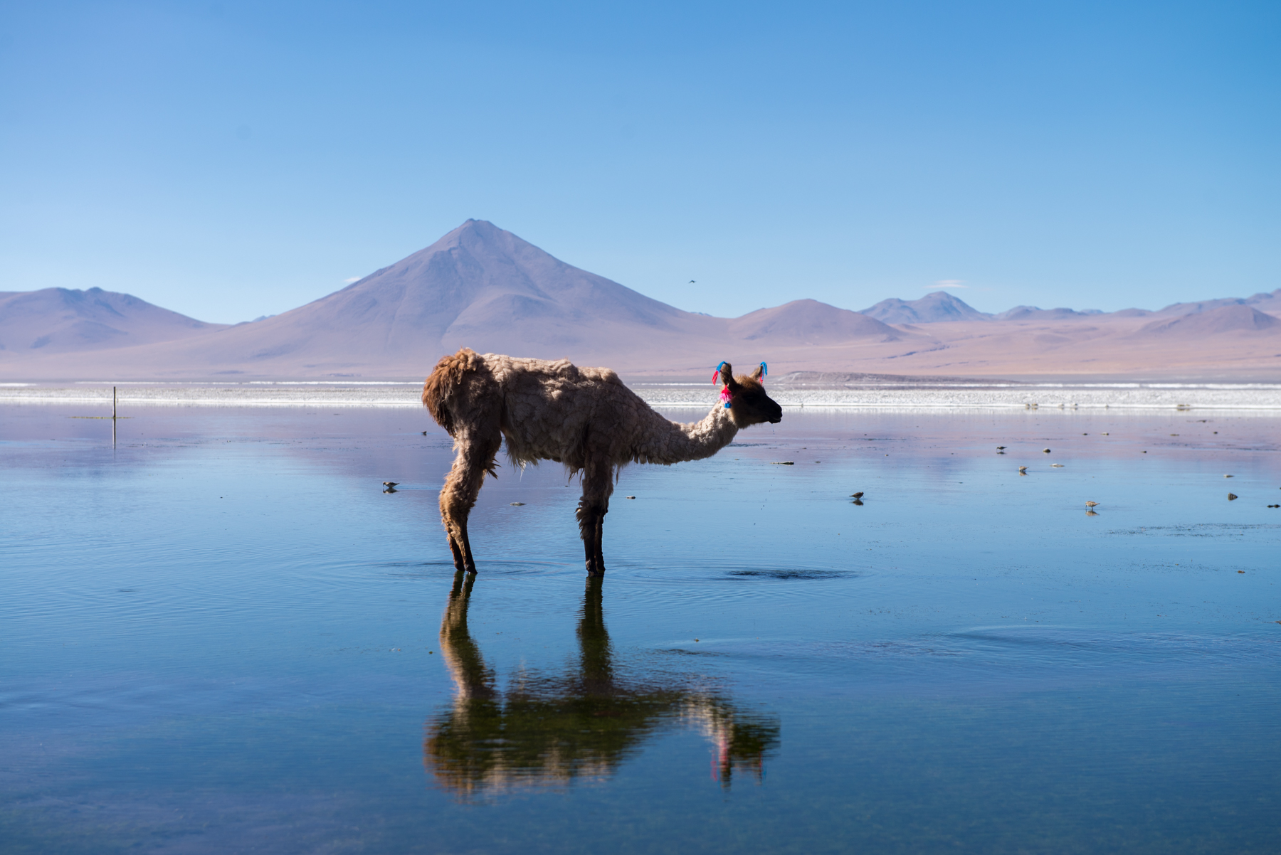 Llama, Bolivia