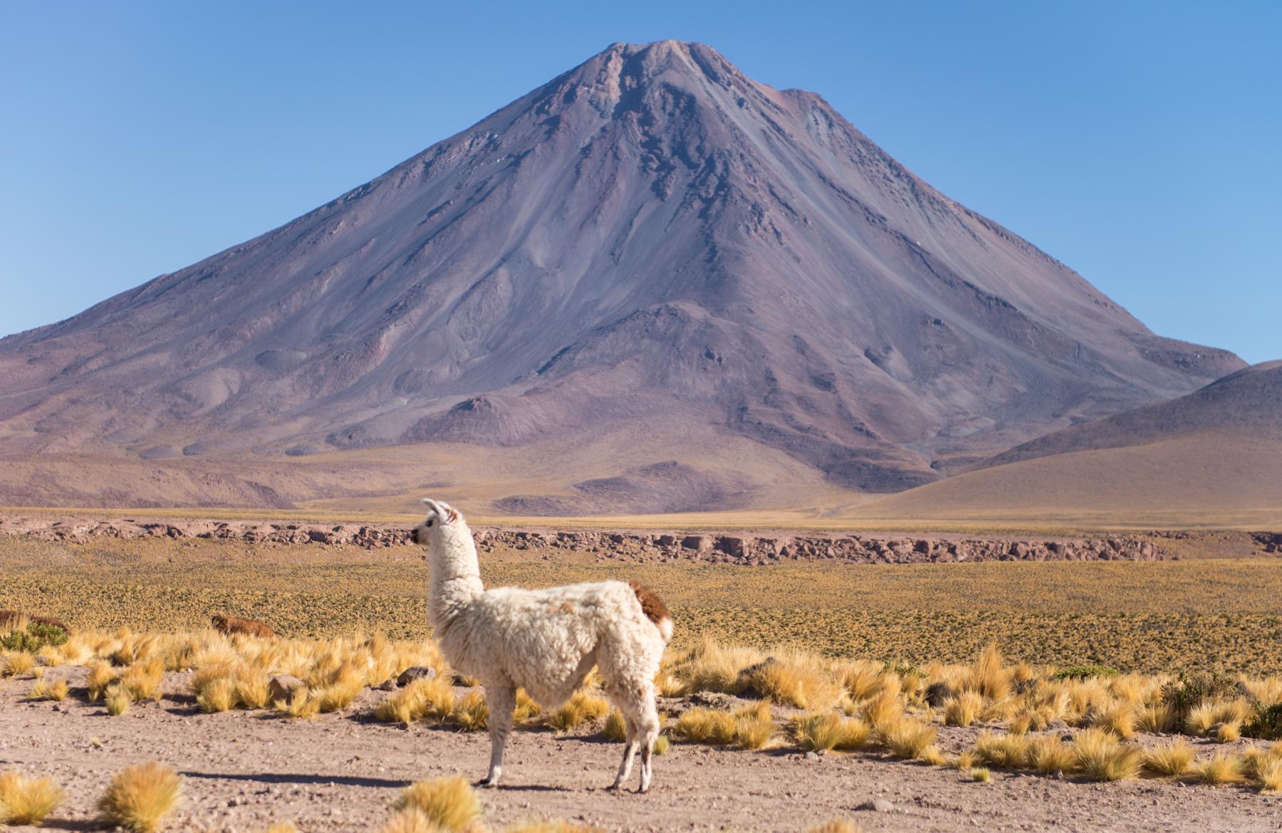 Llama and Licancabur Volcano