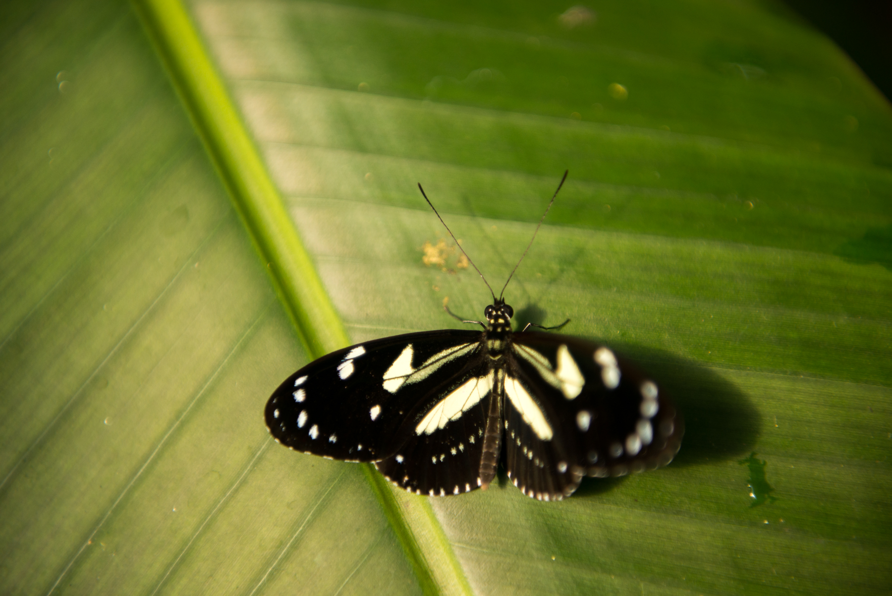 Butterfly, Mashpi Lodge