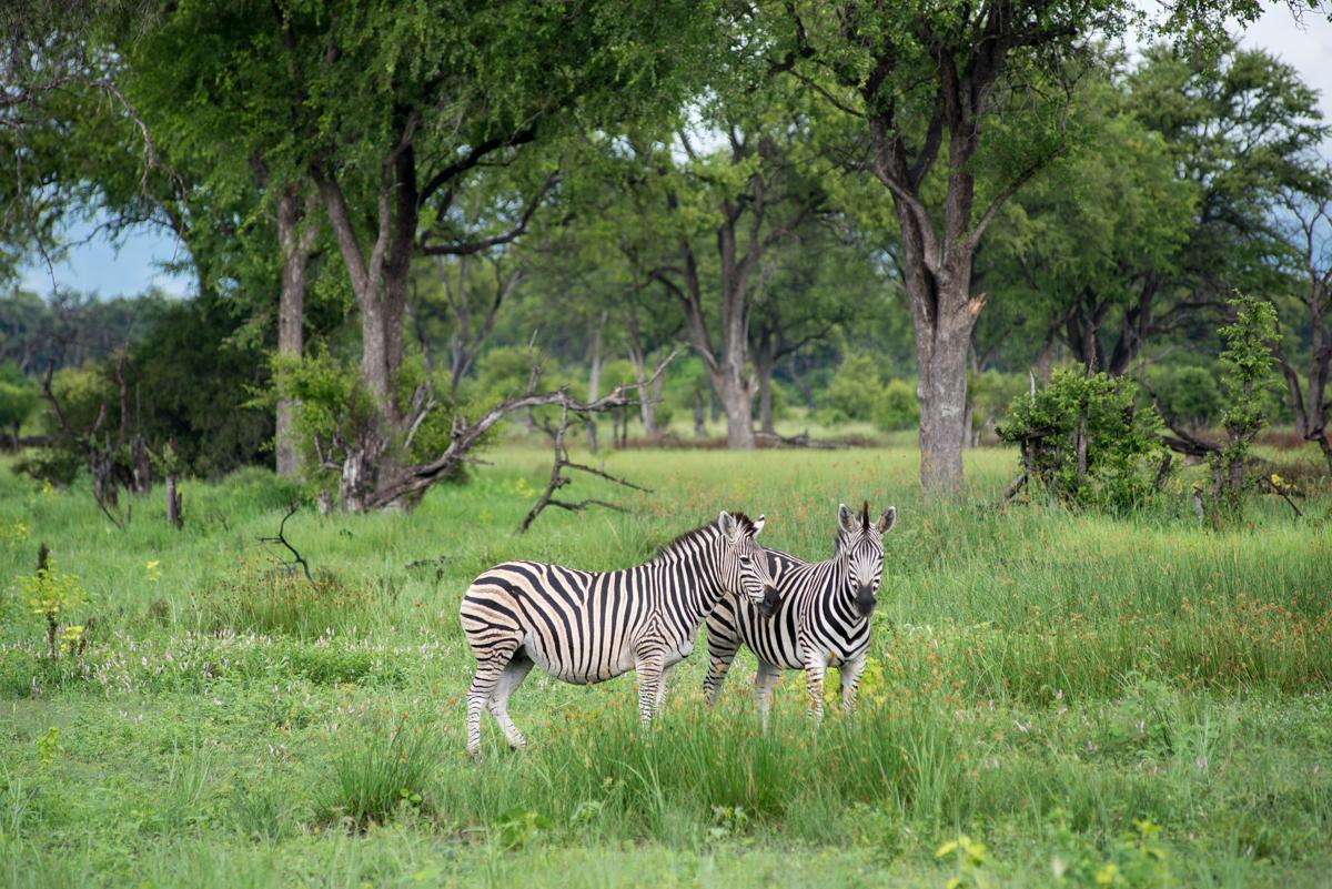 Botswana safari Moremi